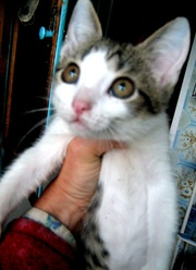 Котёнок в частный дом в дар г.Орёл