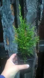 Продам саженцы хвойных и лиственных растений в контейнерах
